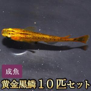 メダカ / 黄金黒鱗めだか 10匹セット / 黄金黒鱗メダカ
