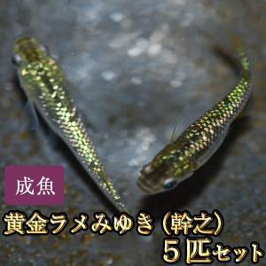 メダカ / 黄金ラメみゆき(幹之)めだか 虹色ラメ 5匹セット