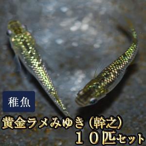 メダカ / 黄金ラメみゆき(幹之)めだか 虹色ラメ 未選別 稚魚 SS-Sサイズ 10匹セット 限定大特価