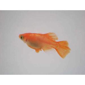 【特徴】 久保楊貴妃めだかのホタル(ヒカリ)体型です。背中に虹色細胞があり輝いて見え背びれと尻びれが...