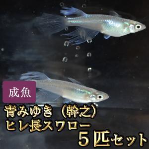 メダカ / 青みゆき(幹之)ヒレ長スワローめだか 松井系 5匹セット
