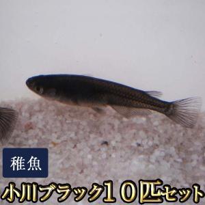 メダカ / 小川ブラックめだか 稚魚 SS-Sサイズ 10匹セット