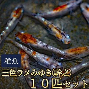 メダカ / 三色ラメみゆき(幹之)めだか 虹色ラメ 未選別 稚魚 SS-Sサイズ 10匹セット