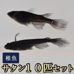 メダカ / サタン / オロチヒレ長スワローめだか 未選別 稚魚 SS-Sサイズ 10匹セット 限定大特価