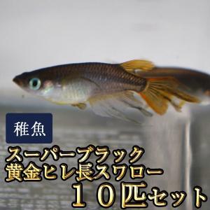 メダカ / スーパーブラック黄金ヒレ長スワローめだか 未選別 稚魚 SS-Sサイズ 10匹セット /...