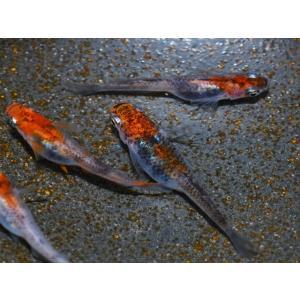 メダカ / 楊貴妃三色錦透明鱗めだか 稚魚 SS-Sサイズ 10匹セット(お一人様5点限り)