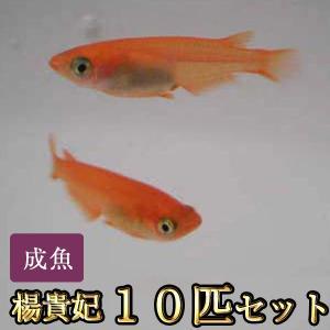 【特徴】 赤みが強い朱赤のめだかです。稚魚や小さい時は薄い体色をしていますが、成長とともに色が濃くな...
