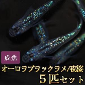 メダカ / オーロラブラックラメめだか 虹色ラメ 5匹セット / 夜桜