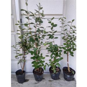 ☆品種を選択『フェイジョア4〜5号ポット』根元から高35〜70cm[果樹/植木/庭木/シンボルツリー]