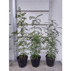 シマトネリコ4号ポット苗4〜6本植え ・根元から35〜45cm