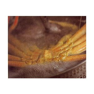 ボイル ズワイガニ 姿 ずわいがに 姿 身2尾 ズワイ蟹 冷凍 ずわい蟹 通販 冷凍 ズワイガニ ずわいかに ずわいカニ ズワイ蟹 ズワイカニ カニ鍋 かに鍋 蟹 鍋|meisankobo|05