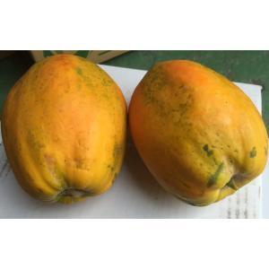 【発送8〜12月】 沖縄県産 フルーツパパイヤ 約2kg(2個前後) 【品種石垣サンゴ】  最強のダイエットフルーツとも言われるフルーツパパイヤ