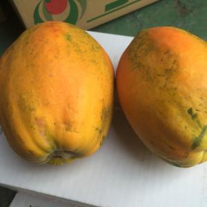 【新春セール】【送料無料】沖縄県産 完熟フルーツパパイヤ約2kg 数量限定!【品種お任せ】