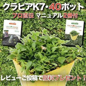 【レビュー特典あり】 クラピア K7 (白) 9cmポット苗 40鉢セット 完全植栽マニュアル付き ...