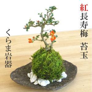 年に数回可憐な花が楽しめます【紅長寿梅(ベニチョウジュバイ)の苔玉・くらま岩器・敷石セット】