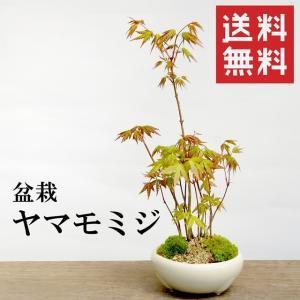 盆栽 ヤマモミジ(万古焼白鉢)