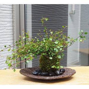 小さな葉がたくさん!華やかな苔玉【ワイアープラン...の商品画像