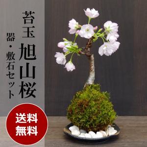 苔玉 盆栽 送料無料でお届け!桜・・・そう聞くだけで心和む景色を貴方のもとへ 桜(旭山桜)の苔玉・黒備前器小セット