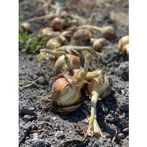 【有機JAS認証】農家直送!里山育ちの無農薬玉ねぎ5kgセット オーガニック|minakuchi-farm