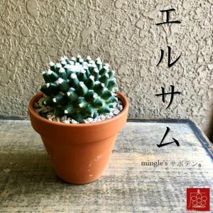 実店舗からPickUp エルサム サボテン 素焼き鉢 多肉植物 インテリア 観葉植物 おしゃれ かわいい|mingle-h