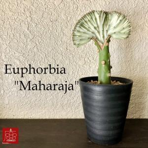 実店舗からPickUp ユーホルビア マハラジャ 多肉植物 インテリア 観葉植物 おしゃれ かわいい レア|mingle-h