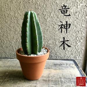 実店舗からPickUp 竜神木 サボテン 素焼き鉢 多肉植物 インテリア 観葉植物 おしゃれ かわいい|mingle-h