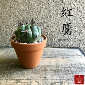 実店舗からPickUp 紅鷹 サボテン 素焼き鉢 多肉植物 インテリア 観葉植物 おしゃれ かわいい|mingle-h