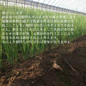 業務用カット小ネギ 福岡県産1kgの詳細画像3
