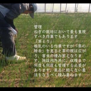 業務用カットねぎ 福岡県産1kg|mituyuki|06