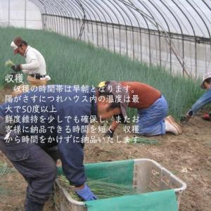 業務用カットねぎ 福岡県産1kg|mituyuki|07