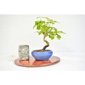 お買得 宮様かえで 盆栽 ミニ盆栽 ミヤサマ 曲幹 カエデ 雑木盆栽 数量物