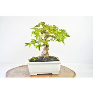 お買得 小品 上級 かえで 盆栽  極太 カエデ 楓 雑木 現品