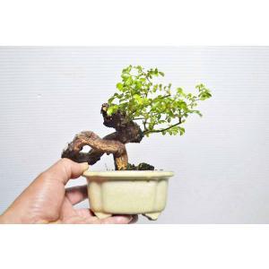 極上 野バラ 盆栽 小品 極太 野茨 ノイバラ のばら 薔薇 花物盆栽 現品