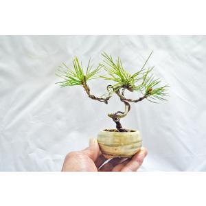 ★4周年記念価格 ミニ 豆 サイズ 赤松 盆栽 曲幹 矯正中 アカマツ あかまつ 松柏盆栽 数量物 限定10鉢