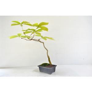 お買得 コナラ 盆栽 文人風 曲幹 こなら どんぐり 雑木 現品