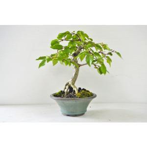 お買得 上級 岩シデ 盆栽 根上り 曲幹 模様木 イワシデ いわしで 雑木盆栽 葉物 現品