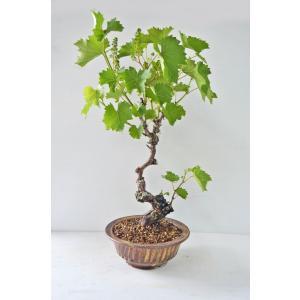 極上 山ブドウ 盆栽 一才山ぶどう Aタイプ 曲幹 中品 花芽付(4月) ヤマブドウ やまぶどう 山葡萄 実物盆栽 数量物