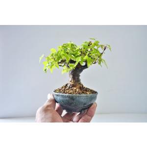 ★お薦め 極上 ミニ 小葉性 かえで 盆栽 高級鉢使用 極太 曲幹 楓 カエデ ミニ盆栽 現品