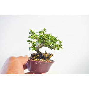 お買得 極上 ミニ 素材 長寿梅 盆栽 高級盆栽鉢使用 ちょうじゅばい チョウジュバイ 豆 ミニ盆栽