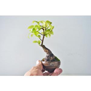 豆 ミニ コマユミ 盆栽 高級鉢使用(秀邦) 小品 こまゆみ 小真弓 実物 現品