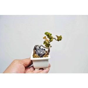 2019/04/18 撮影  人気の竜神ヅタ・・・極上素材販売・・・ お早めにヽ(^o^)丿  贈り...