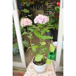 17・放任栽培品 アジサイ 品種不明A1ピンク 5号鉢|morinouen-store