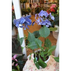 18・仕立て直し・自然開花 アジサイ ブルーアース5号底面給水鉢|morinouen-store