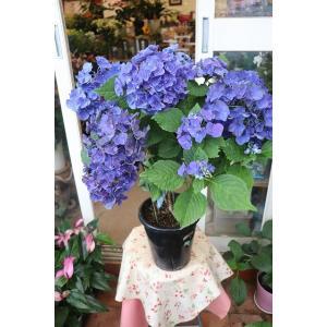18・仕立て直し・自然開花 アジサイ ブルーアース(ha12)6号底面給水鉢|morinouen-store