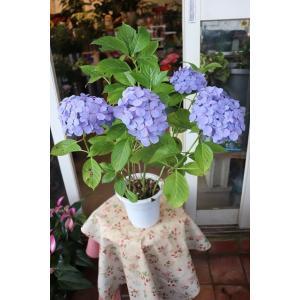 18・仕立て直し・自然開花株・アジサイ 品種不明(sihuab53) 5号鉢|morinouen-store