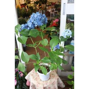 18・仕立て直し・自然開花・やや秋色アジサイ 品種不明(siac18)5号鉢|morinouen-store