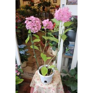 18・仕立て直し・自然開花・やや秋色アジサイ 夢手毬ピンク(ba10)5号底面給水鉢|morinouen-store