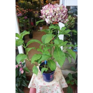 18・仕立て直し・自然開花・秋色アジサイ 紫覆輪(siba11)5号鉢|morinouen-store