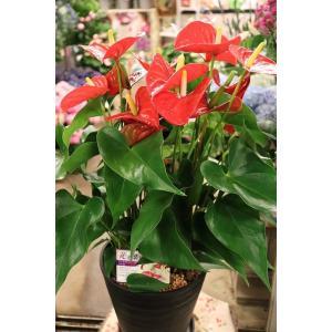 18・アンスリウム・その他観葉植物 アリスト7号鉢ラッピング込|morinouen-store
