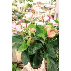 18・NEW・アンスリウム・その他観葉植物 ミスティーク8号鉢ラッピング込|morinouen-store
